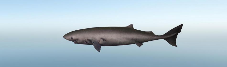 Акула полярная тихоокеанская