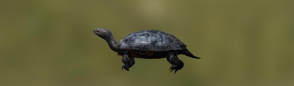 Черепаха балканская прудовая