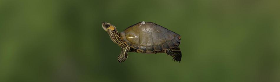 Черепаха алабамская