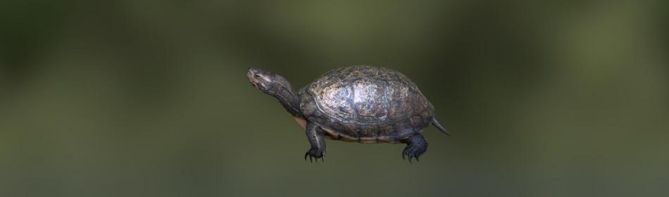 Черепаха коробчатая юньнаньская