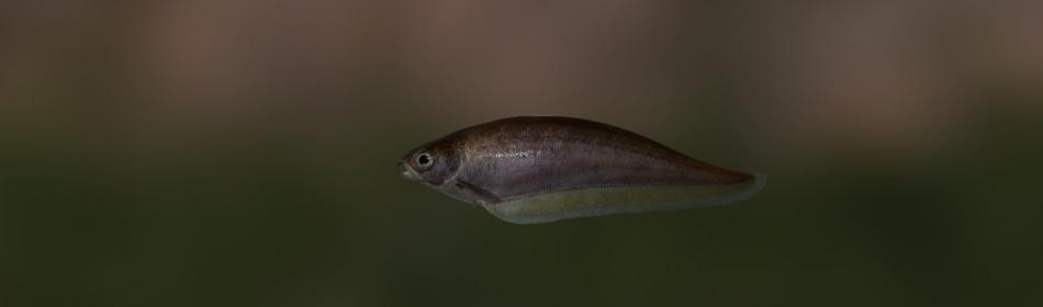 Рыба нож африканская