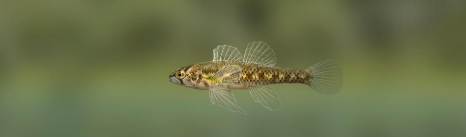 Змеешейка золотополосая