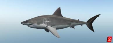 Акула большая белая