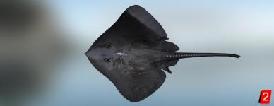 Скат черный грубохвостый